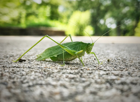 The Sounds of Summer: How Do Insects Sing?