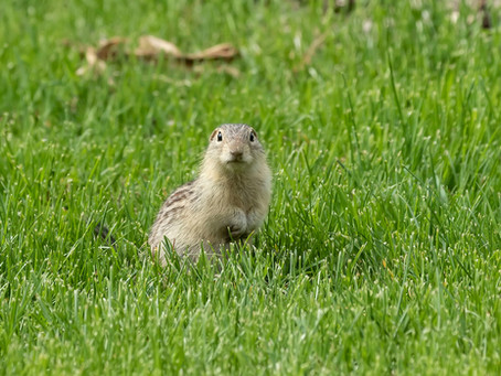 Ground Squirrels Are Squirrels That Look Like Chipmunks