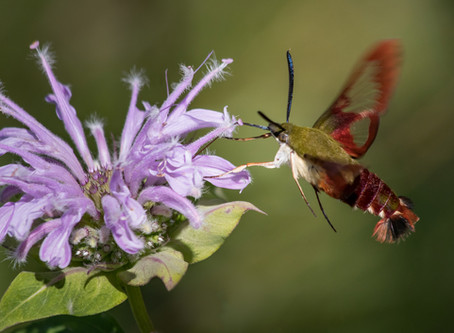 What's That Buzzing Around? Hummingbird or Moth?
