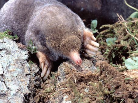 The Secret, Underground Life of Moles