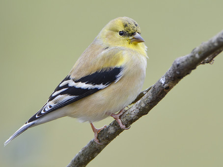 The Not-So-Golden American Goldfinch