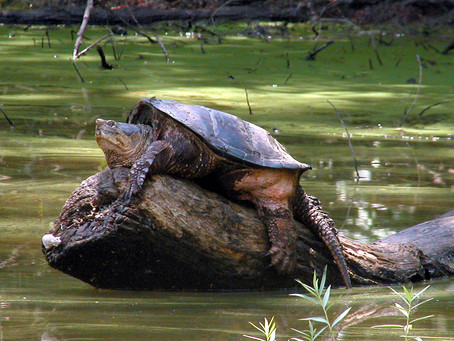 Turtle Power: The Mighty Snapping Turtle