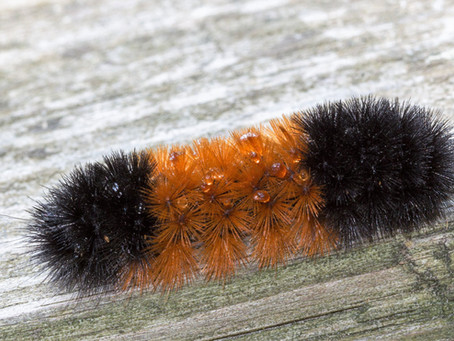 Caterpillars In Winter? Woolly Bears Are Built For Cold