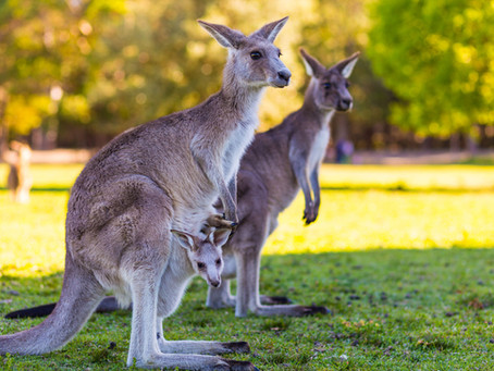 Marsupials Have Pouches To Keep Their Babies Safe