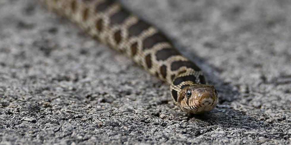 St. Pat's Charming Snakes (Zoom webinar)