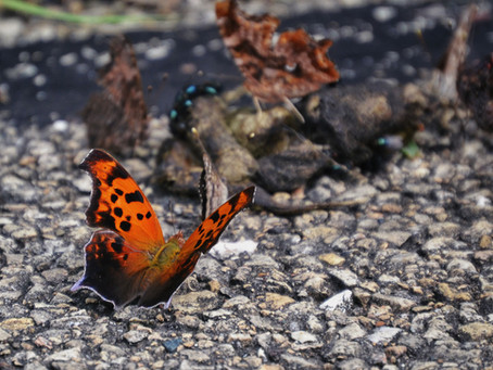 Pretty Punctuation: The Question Mark and Eastern Comma Butterflies