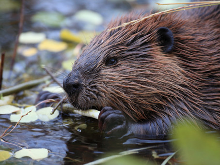 What's The Difference: Beaver Vs. Muskrat