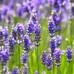 Essential Oil Index - Lavender