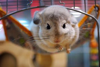 Rats, Mice, and Chinchillas