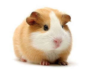 Guinea Pigs and Hamters