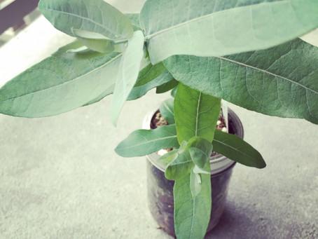 This weeks edition of herb of the week - Eucalyptus globulus!