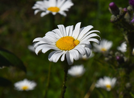 Herb of the Week: Chamomile!