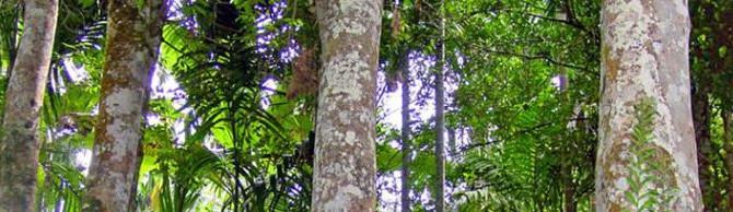 Уд, удовое дерево, агаровое дерево, агуру, аквилярия, алойное дерево