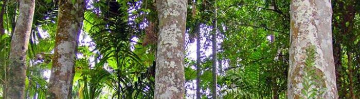 агаровое дерево
