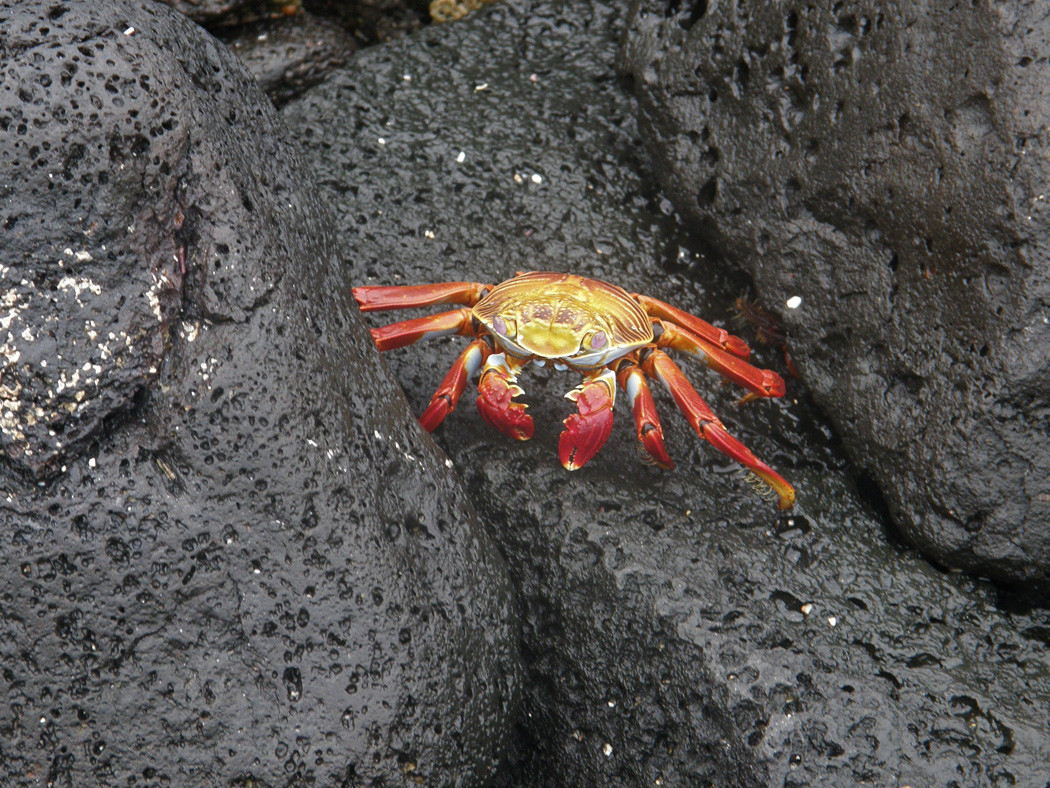 A Sally Lightfoot crab. This might be the one animal I encountered that seemed to have a normal sense of caution about humans getting too close.