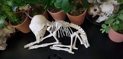 Stillborn Goat (capra)