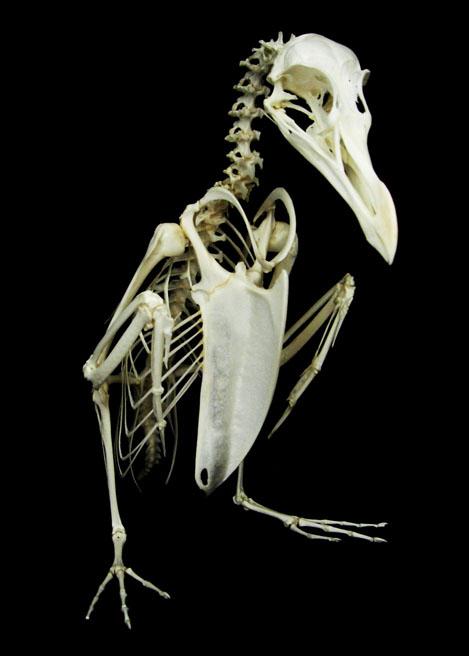 Razorbill (Alca torda)