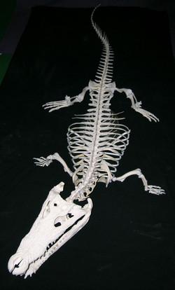 Crocodile of the Nile