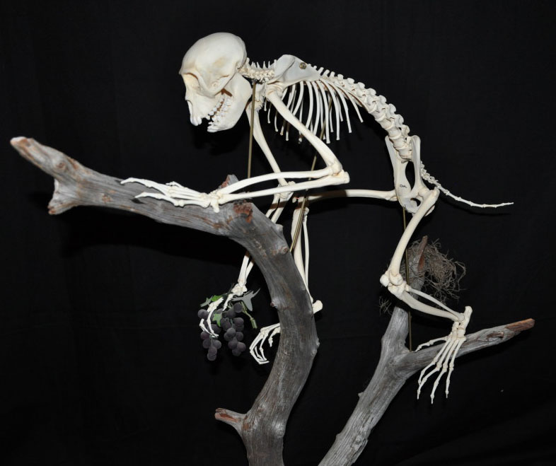 Macaque Monkey (macaca)
