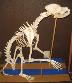 Pit Bull (Canis familiaris)