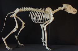 Wolf (lupus)