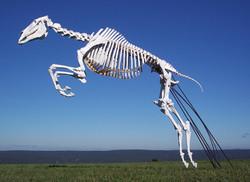 Horse (Equus equus)