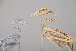 Australasian Gannet  (Morus serrator