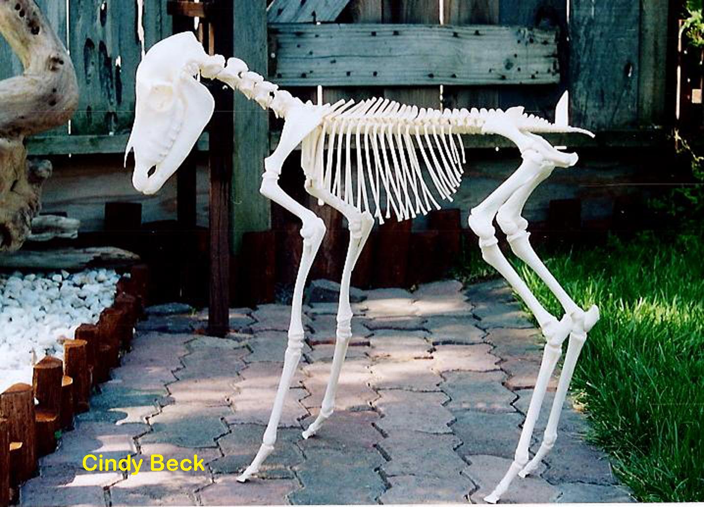 Mini-Donkey (Equus africanus asinus)
