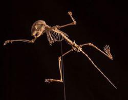 Flying Squirrel (Pteromyini)