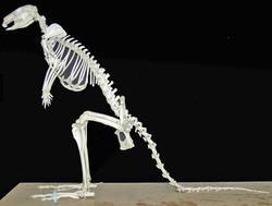 Walabi (Macropus rufogriseus)