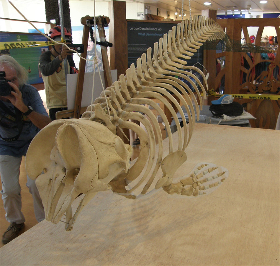 The skull on this whale is about as wide as it is long.
