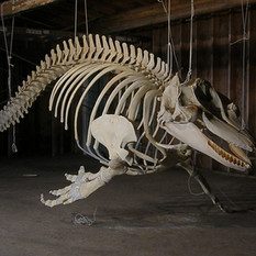 The orca skeleton as I left it. Finished except for the teeth.