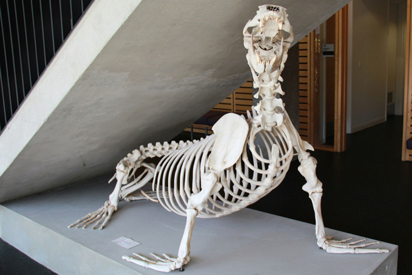 Steller's Sea Lion