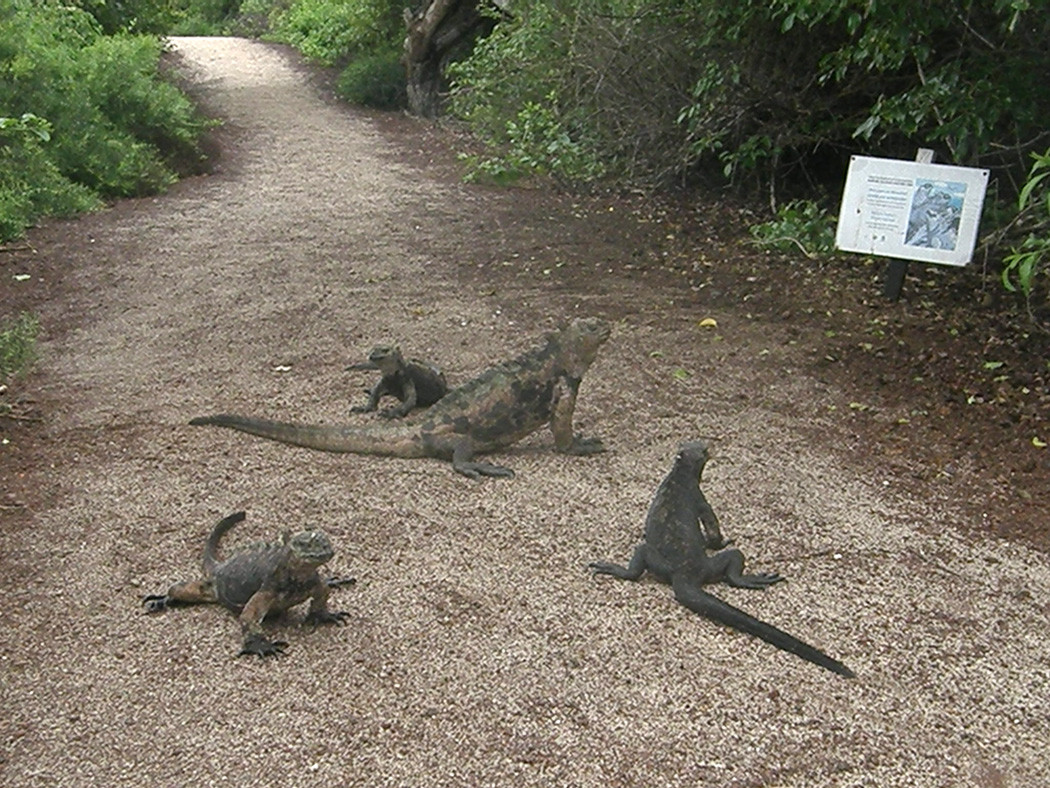 This is what I stumbled on within the first minutes of my first morning walk. A group of marine iguanas checking out a sign about being kind to the iguanas.