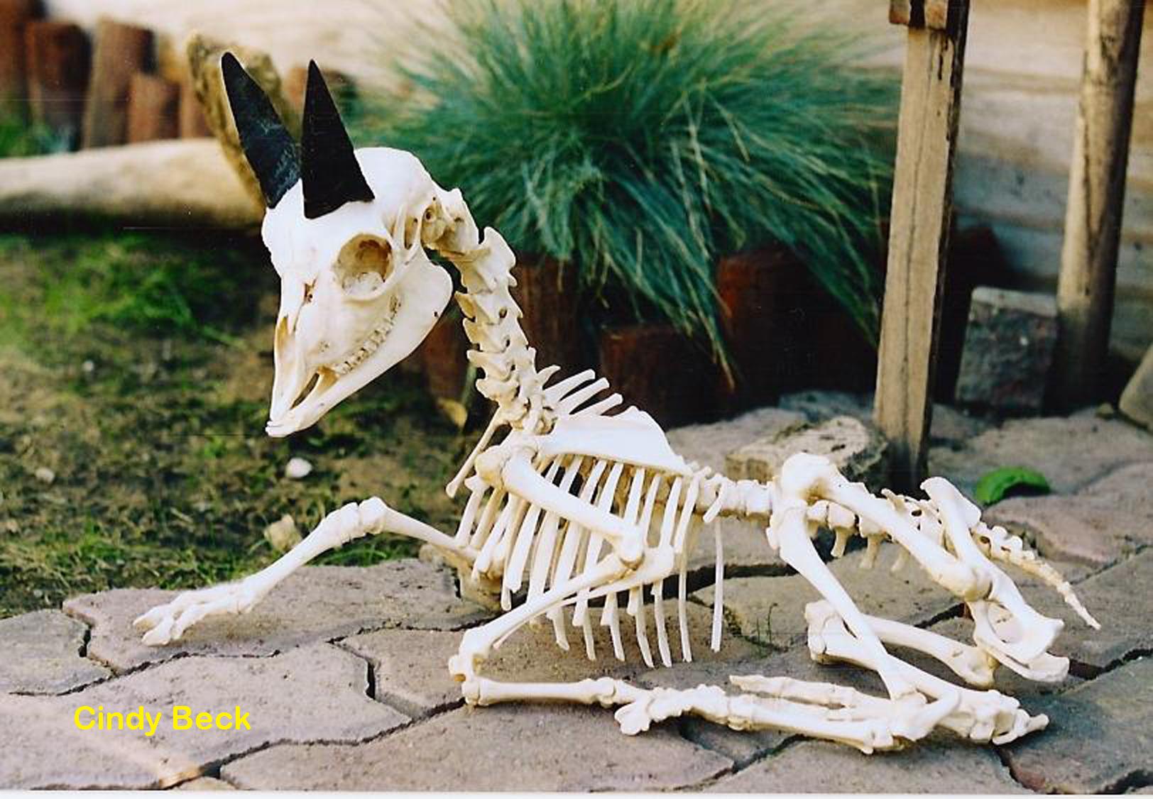 Goat Capra (aegagrus hircus)