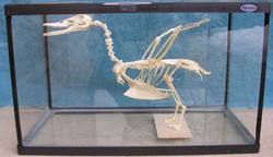 Mallard duck (Anas platyrbynchos)
