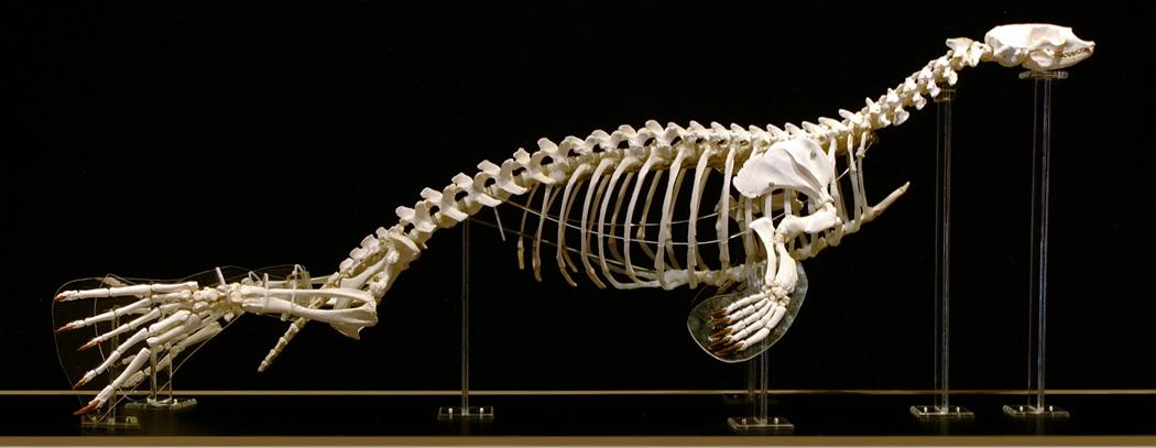 Harp Seal (Pagophilus groenlandicus)