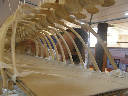 Martha working on the rib cage of the dwarf sperm whale skeleton. About day nine of the project.