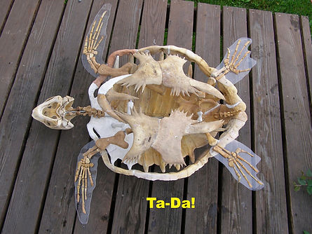 Completed logger-head turtle skeleton