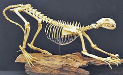 Cougar (Felis concolor)