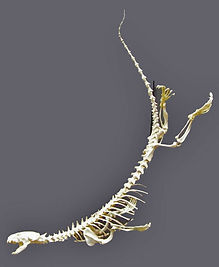 Otter Skeleton