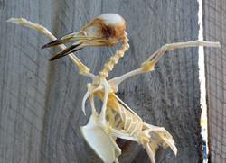 Starling (sturnus)
