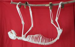 Three-toed Sloth (Bradypus)