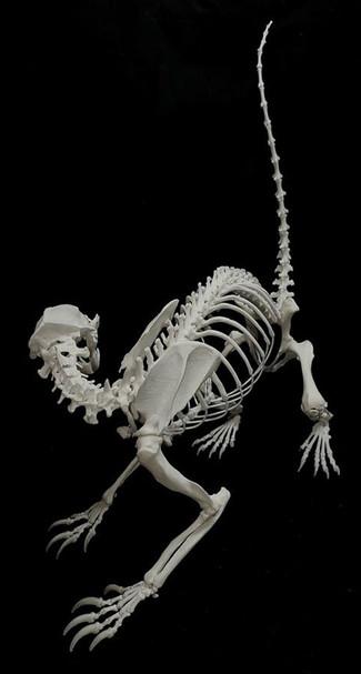 Striped Skunk (percula)