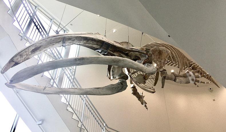 aren bowhead skeleton smaller.jpg