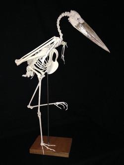 Marabou Stork (marabou ciconia)