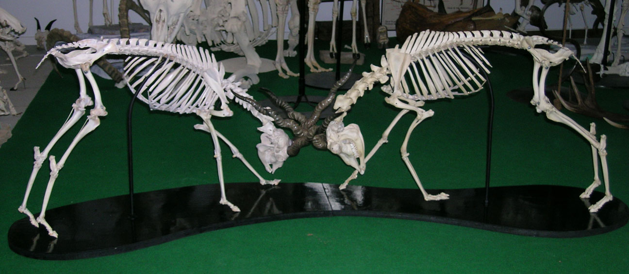 Blackbuck Antelope (Antilope cervica