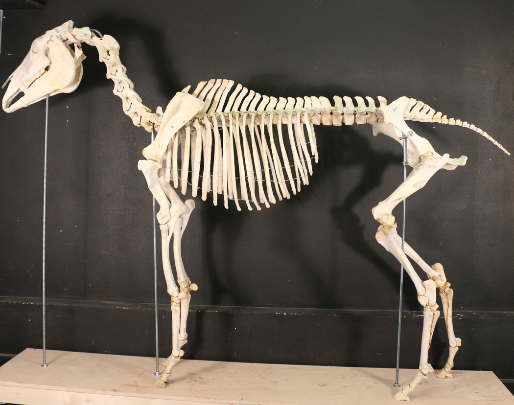 Horse (equus)