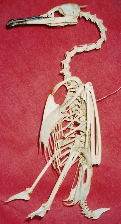 cormorantPhalacrocora-aristotelijeanchri