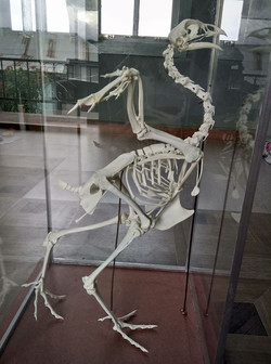 Chicken Skeleton - (pullus)